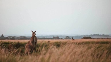 A couple of Kangaroos looking at the photographer