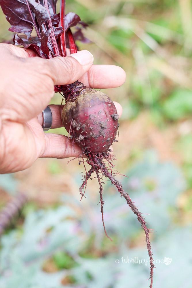Beet from Garden