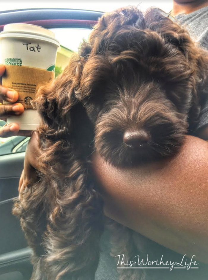 Labradoodles are great dogs for families with children. Read our new puppy, Chance, the chocolate labradoodle and how he found his forever family!