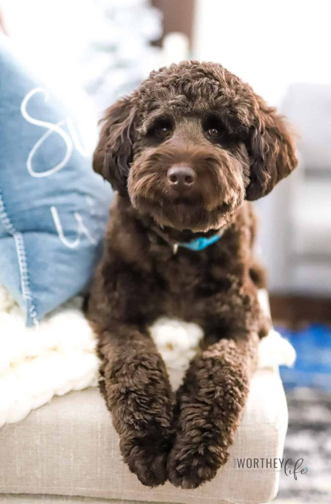 Chocolate Labradoodle Dogs