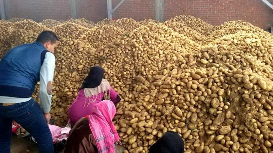 الجزائر تصدر البطاطس نحو إسبانيا