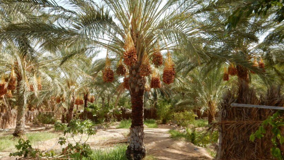 """أمريكا: نجحنا في زراعة التمور بفضل """"دقلة نور"""" الجزائرية"""