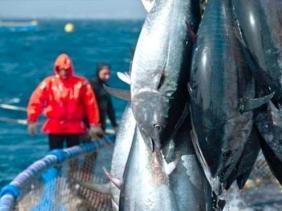 إنشاء مزارع لتسمين أسماك التونة الحمراء