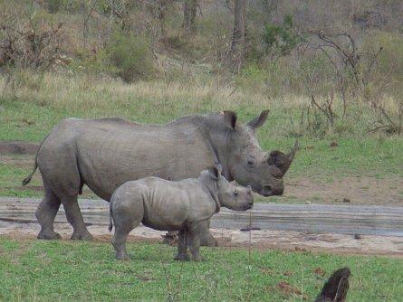 Nashorn Krüger Park - Südafrika