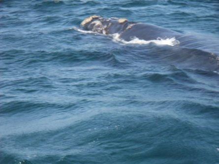Wale in Hermanus - Südafrika