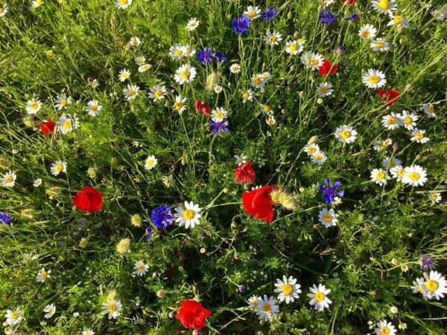 flowers-of-castelluccio