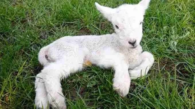 Differenza tra abbacchio, agnello bianco e castrato