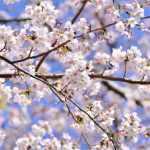 【海外】「美しすぎる」「アニメかと思った」車窓から見える桜景色がアニメのようだと海外もびっくり仰天!