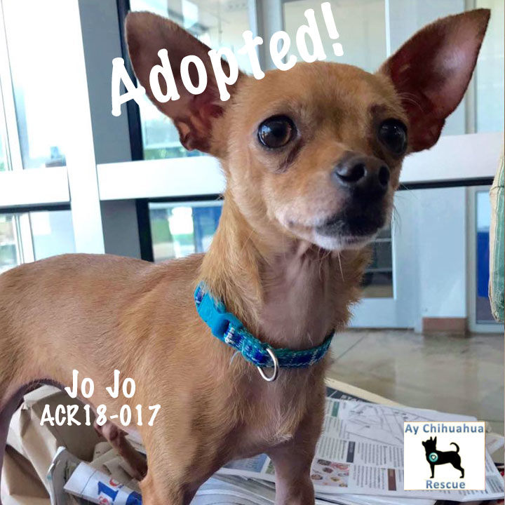Available Dogs | Ay Chihuahua Rescue