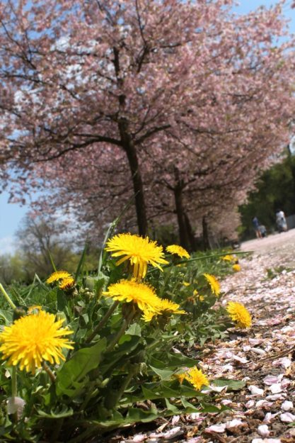 RadkaZimova_Dandelion_Cherry_tree_inbloom