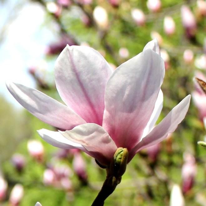 RadkaZimova_Detail_of_Magnolia_Blossom