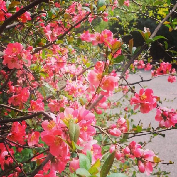 RadkaZimova_pink_blossoms