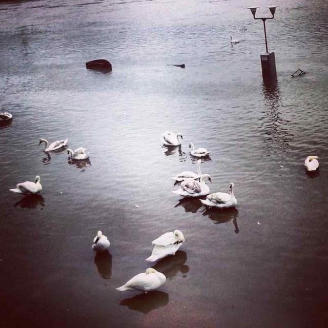 RadkaZimovaK_Swans_on_rising_RiverVltava