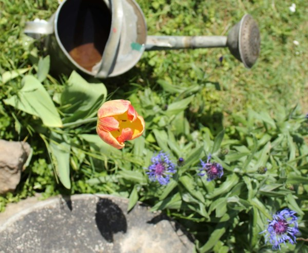 Tulip_and_Watering_Can