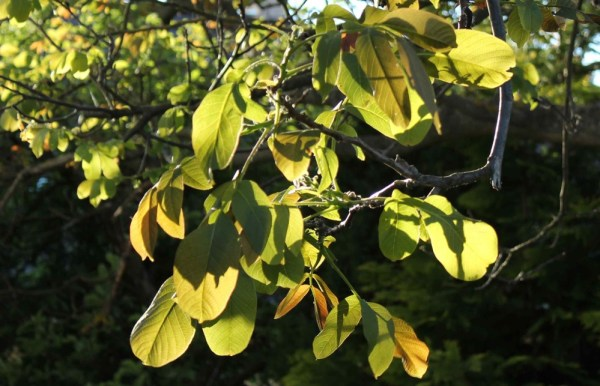 Wallnut_Tree_Leaves