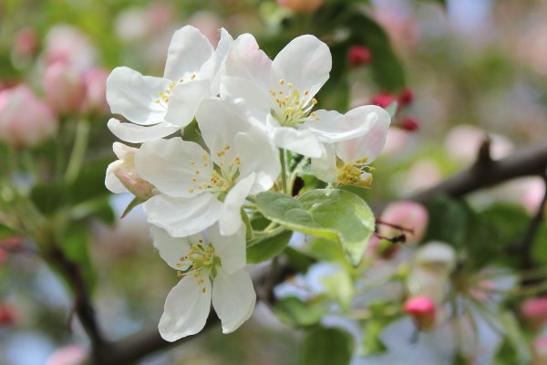 WhiteBlossoms_by_RadkaZimovaKing2016