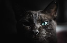 Black cat with one blue eye
