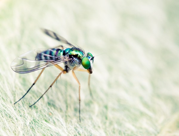 Australian native long legged fly
