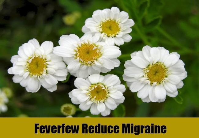 Feverfew Reduce Migraine