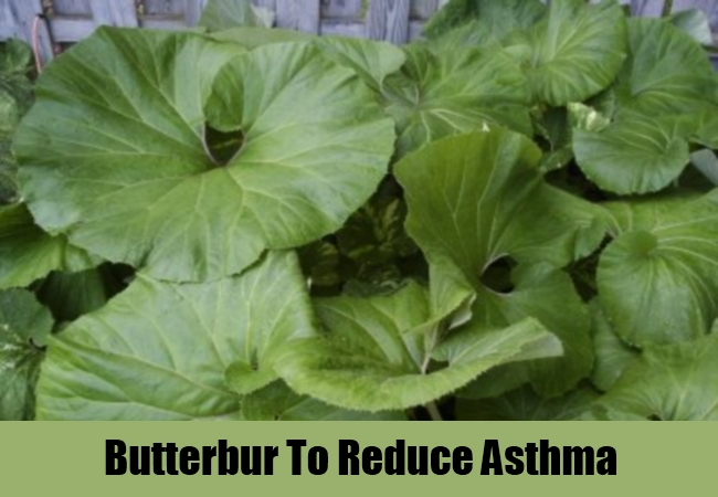 Butterbur To Reduce Asthma