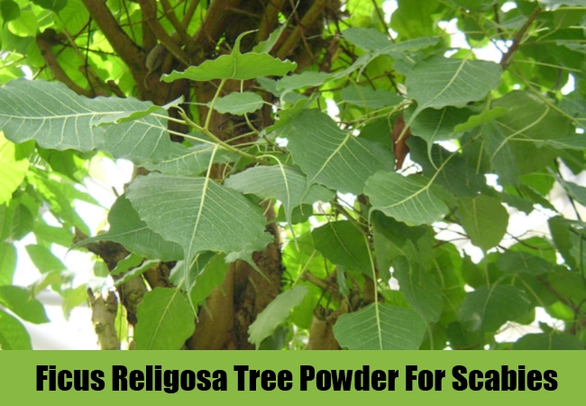 Ficus Religosa Tree Powder For Scabies