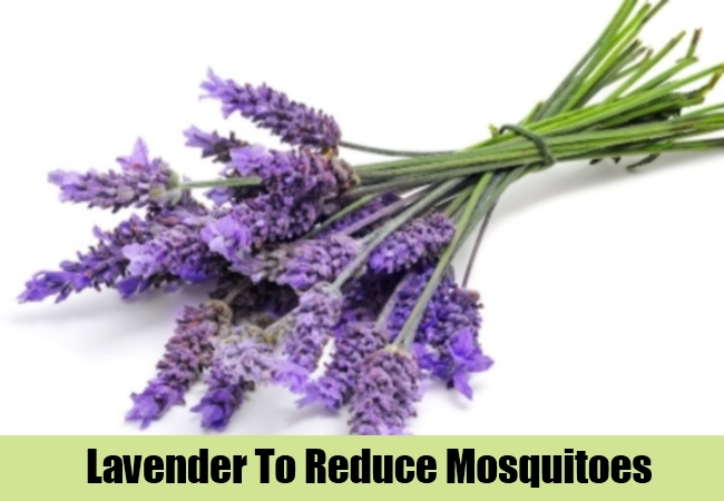 Lavender To Reduce Mosquitoes