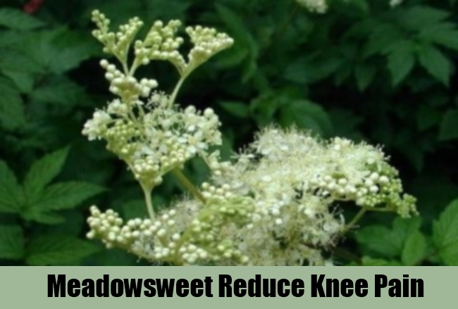 Meadowsweet Reduce Knee Pain