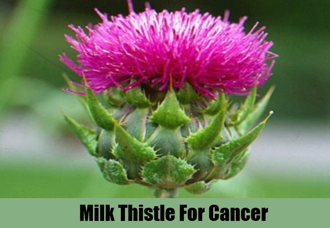 Milk Thistle For Cancer