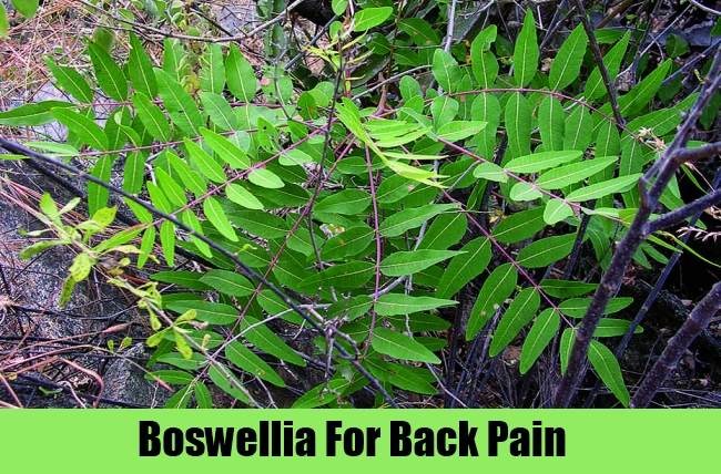 Boswellia For Back Pain