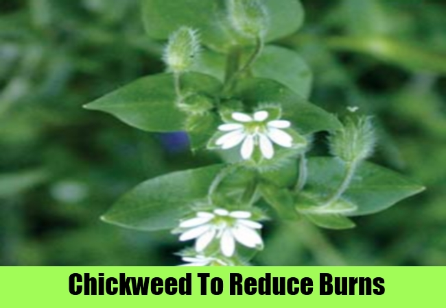 Chickweed To Reduce Burns