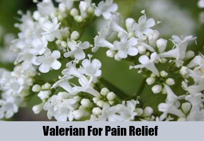 Valerian For Pain Relief