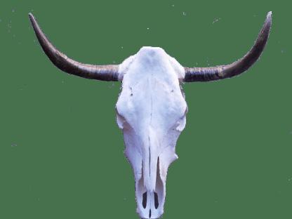cow-skull-regular