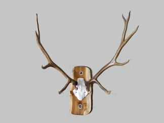 5 Point Elk Rack