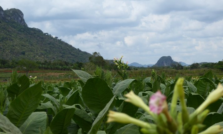 Tabaksplantages in Viñales
