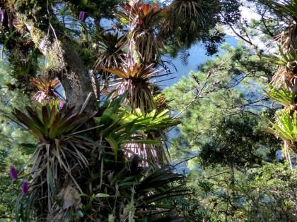 Plant op plant op plant. Parque Nacional Montaña de Celaque