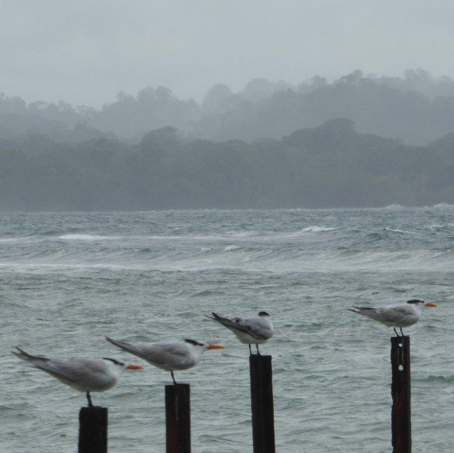 4 vogels en 50 tinten grijs. Parque Nacional Cahuita (Costa Rica)