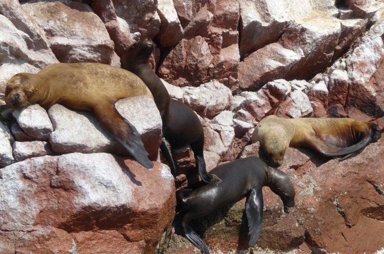 Zeeluien! Islas Ballestas, Paracas