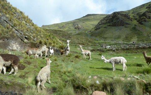 Lama's... of zijn het Alpaca's. Onderweg naar Rainbow mountain