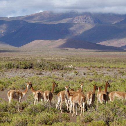 Vicuña (lama bambies). Zuid Bolivia road trip