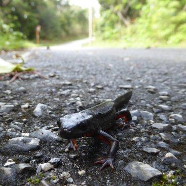 Nieuwsgierige salamander! Één van weinige niet platte varianten op de weg... Zamami