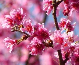 Sakura (kersenbloesem). Yangmingshan NP
