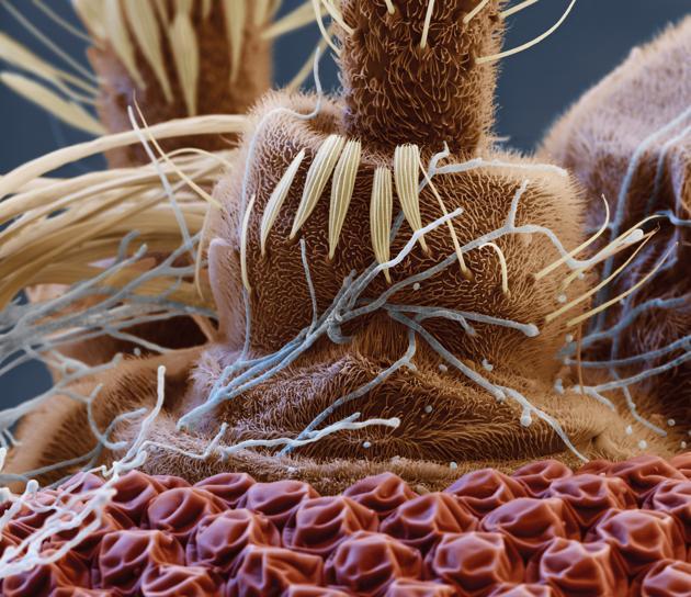 Այս նկարը կը պատկերէ  մժեղի մը շօշափուկին վարի մասը: Մանրադիտակով առնուած նկարը գունաւորուած է արհեստական ձեւով: Ճերմակ թելերը սովորական սնկային մարմիններ են, զորս կարելի է գործածել իբրեւ միջատասպան դեղ:
