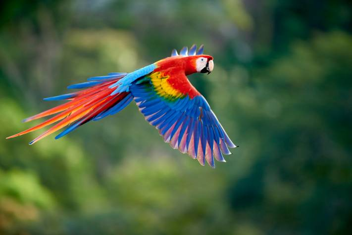 Chasing Macaws - Manuel Antonio - Wildlife Photography of Scarlet Macaw in Flight