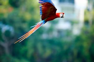 Scarlet Macaws in Flight - Manuel Antonio Costa Rica