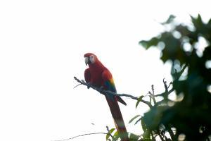 Scarlet Macaws Perching - Manuel Antonio Costa Rica