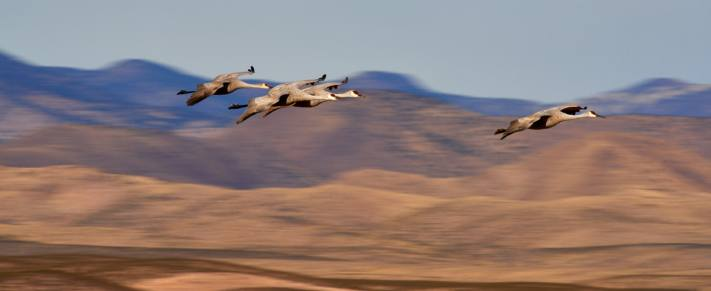 4 sandhill cranes fly in front of the mountains near Bosque del Apache in New Mexico.