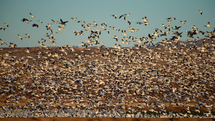 Thousands of snow geese take flight at dawn inside Bosque del Apache NWR in New Mexico.