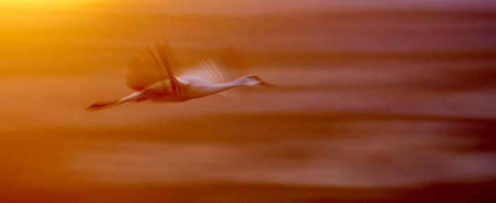Panning photo of a sandhill crane in front of sunset.