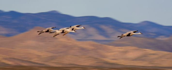 A flight of sandhill cranes approach a field to begin foraging for food.