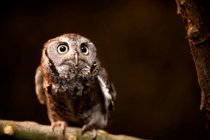 Eastern Screech Owl in the studio at Precision Camera in Austin.